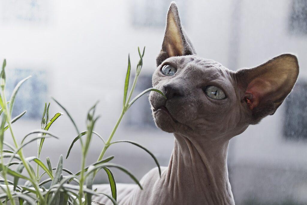 razas de gatos exóticos