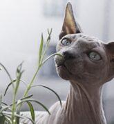 Conoce las 5 razas de gatos exóticos