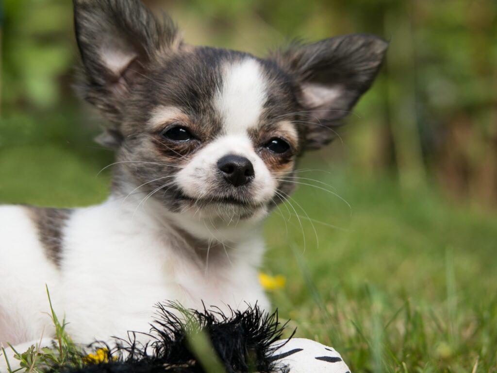 perros pequeños de pelo corto
