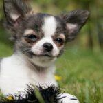 Top 6: Conoce los perros pequeños de pelo corto
