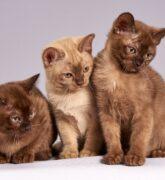 Conoce las principales enfermedades de los gatos