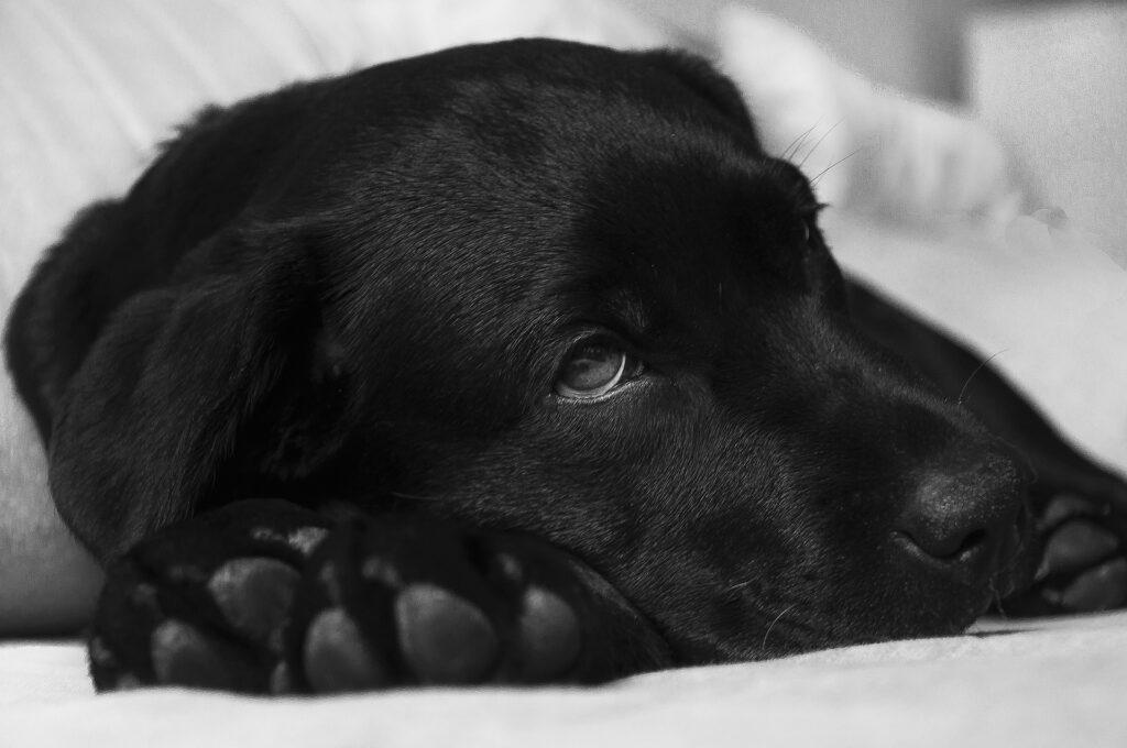 Todos los caninos merecen tener una vida de calidad y cuando el cáncer de perros ataca su sistema por ello los consejos para levantar a los pequeños peludos