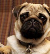 Perros Pug, todo lo que se necesita saber sobre este perro
