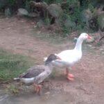 Beneficios de tener los gansos como mascotas