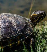 ¿Cómo cuidar una tortuga de tierra en casa?